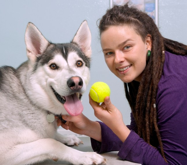 No balls, please… vets warn of dangers after husky almost dies from swallowing tennis ball