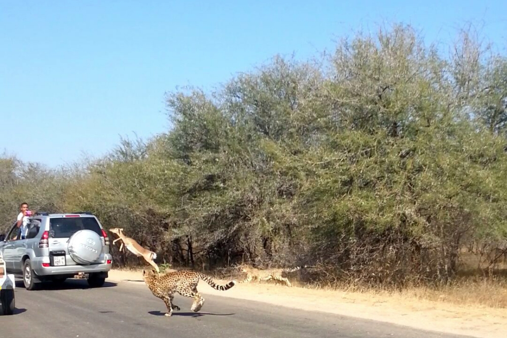 ***EXCLUSIVE***  KRUGER NATIONAL PARK, SOUTH AFRICA - UNDATED: Two Cheetah chase an impala in Kruger National Park, South Africa.  AN IMPALA has been videoed sensationally escaping two cheetahs - by leaping into a CAR full of tourists. The terrified animal had looked a second away from death when an unexpected window of opportunity appeared. Stunned Samantha Pittendrigh, 20, filmed the impala leaping through a passenger window on her mobile phone. The great escape took place in Kruger National Park, South Africa.   PHOTOGRAPH BY Samantha Pittendrigh / Barcroft Media   UK Office, London. T +44 845 370 2233 W www.barcroftmedia.com  USA Office, New York City. T +1 212 796 2458 W www.barcroftusa.com  Indian Office, Delhi. T +91 11 4053 2429 W www.barcroftindia.com