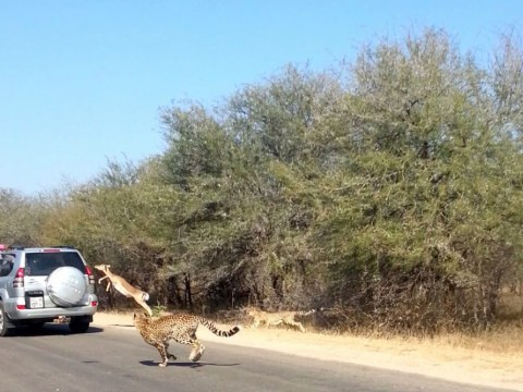 Impala fleeing cheetahs jumps through window into the back of a 4×4