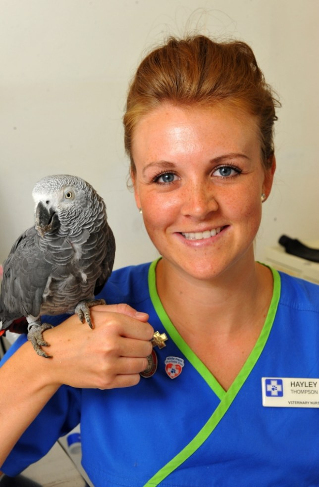 A potty-mouthed parrot who was found wandering in the middle of a road told its rescuer to 'bugger off' and became angry with vets who were trying to look after it. See Ross Parry copy RPYPARROT.  The African grey parrot swore repeatedly at the unwitting member of the public when he tried to pick up the bird from the road in Guiseley, Leeds, West Yorks yesterday lunchtime (WED). The stowaway pet, whose gender and name are not known, was brought into the White Cross Vets in car, but hung on for dear life with its claws as it sat in the front seat, not wanting to be brought in for treatment.  It then went on the offensive and began attacking staff, but once the parrot calmed down and stopped its foul language, staff were able to send an ID number which was attached by a ring on its leg to a specialist team to try and track down the owner. Pictured with vet Hayley Thompson.