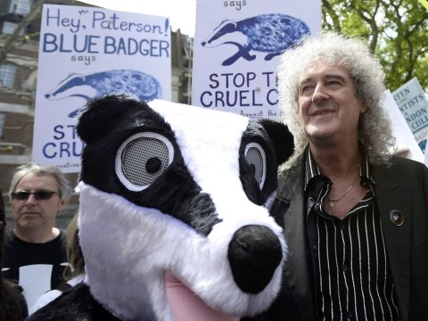 RSPCA campaigns to get Brian May badger song to number one after it enters charts
