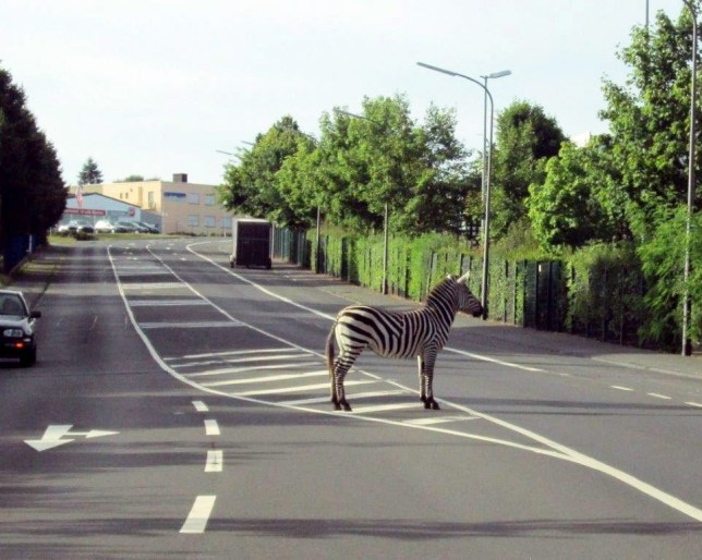 epa03813571 A handout photo provided by the Bitburg Police Department on 05 August 2013 shows a zebra on a street in Bitburg, Germany, 04 August 2013. According to the police of Bitburg, an escaped zebra from a local circus was walking through the streets of Bitburg and stopped on the striped part where it was recaptured by circus staff.  EPA/POLIZEIINSPEKTION BITBURG / HANDOUT