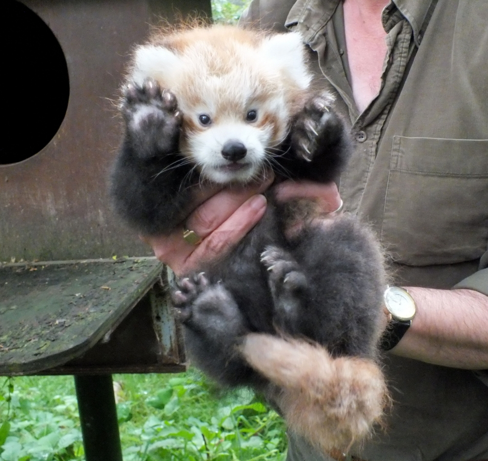 Highland Wildlife Park undated handout photo of red panda cub Kush who as finally met staff at the wildlife park two months after he was born.  PRESS ASSOCIATION Photo. Issue date: Wednesday August 7, 2013. Kush arrived at the start of June to two-year-old parents Kitty and Kevyn at Highland Wildlife Park near Aviemore in the Scottish Highlands. See PA story ANIMALS RedPanda. Photo credit should read: Highland Wildlife Park/PA Wire NOTE TO EDITORS: This handout photo may only be used in for editorial reporting purposes for the contemporaneous illustration of events, things or the people in the image or facts mentioned in the caption. Reuse of the picture may require further permission from the copyright holder.