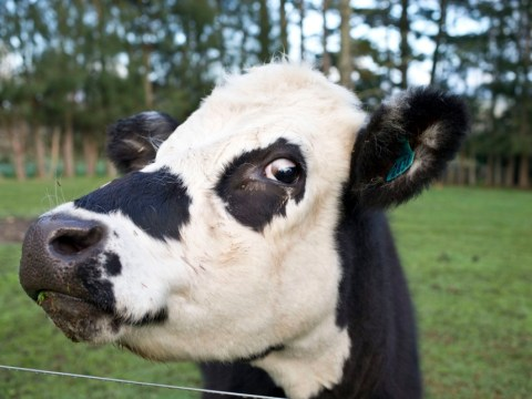 Man seriously injured in St Neots cow stampede