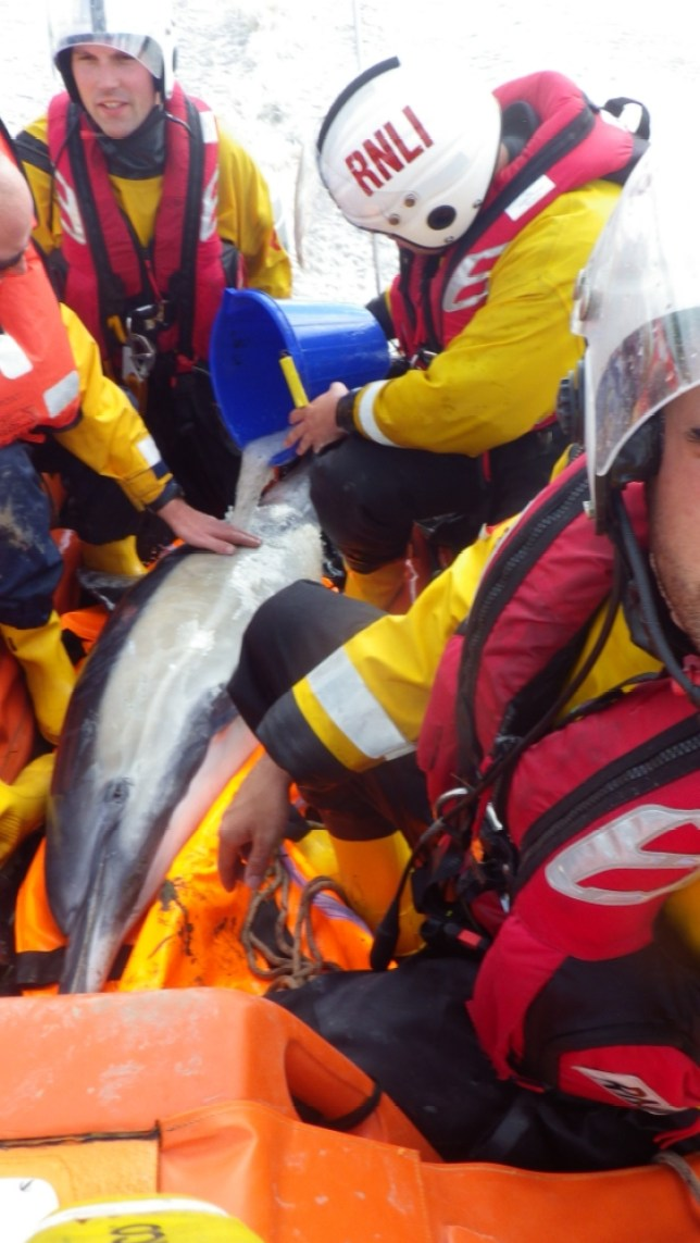 Dolphins Davina River Dee in Chester rescue by RNLI