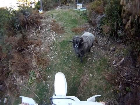 Motorbike rider battles ram – part two (but ram still wins)