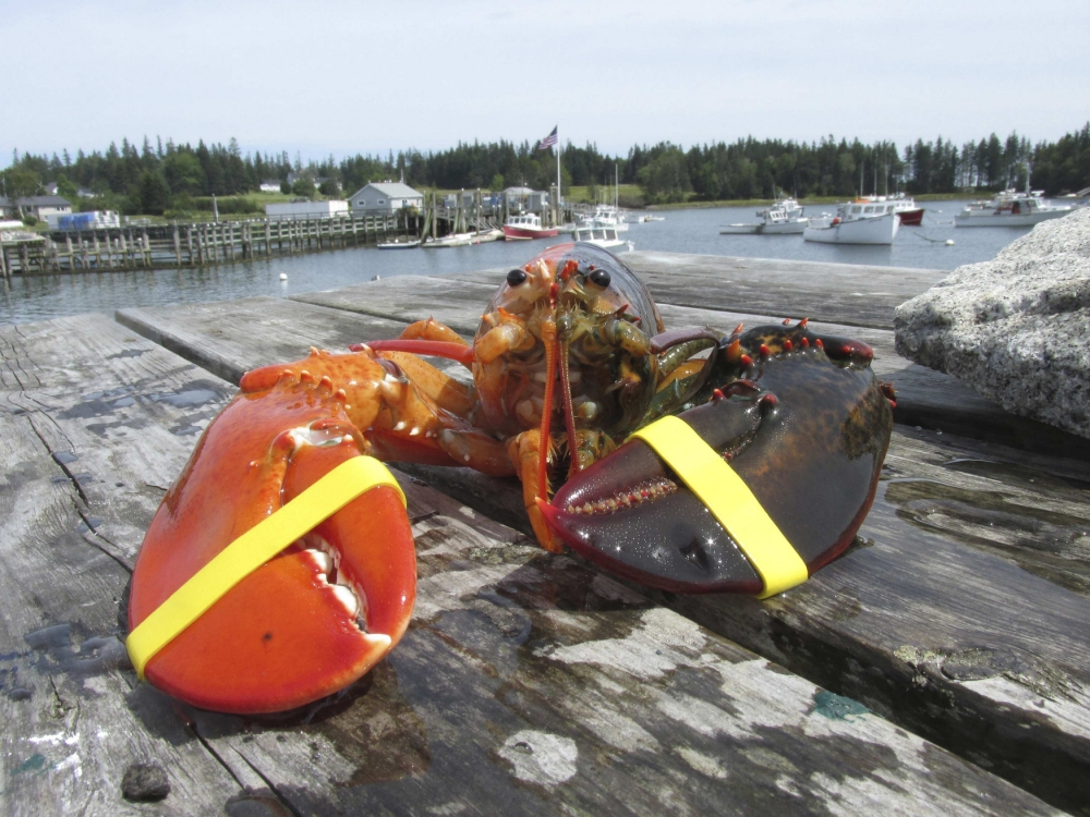 What a catch! Extremely rare two-tone lobster found