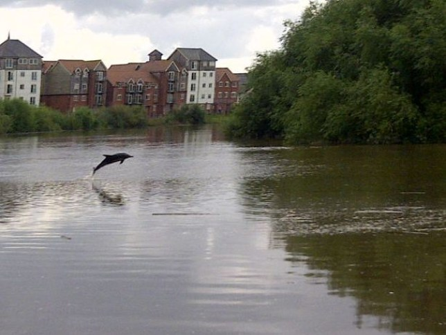 Dolphin spotted near Chester after swimming miles up the River Dee
