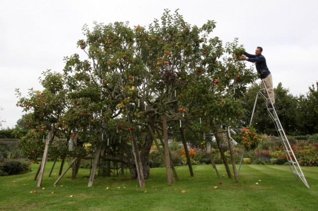 Apple max: How one fruit tree came to have 250 different varieties growing on it