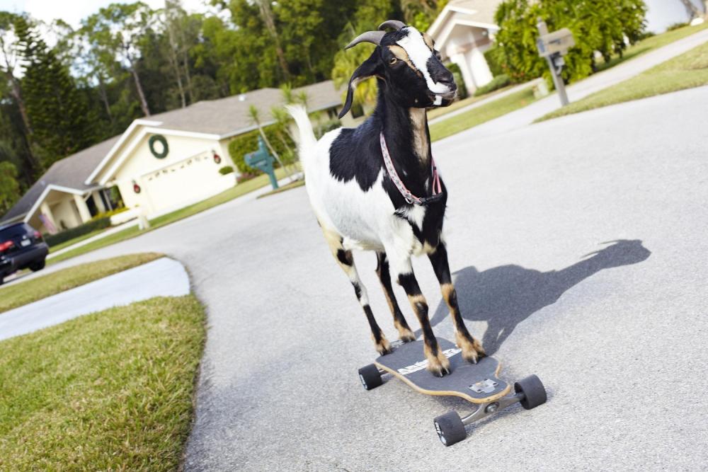 Guinness World Records 2014: Meet Happie the skateboarding goat Happie