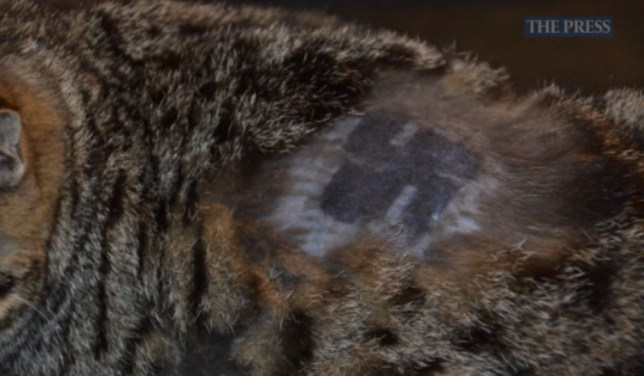 Cat abducted, shaved, and has swastika drawn on its back in bizarre attack