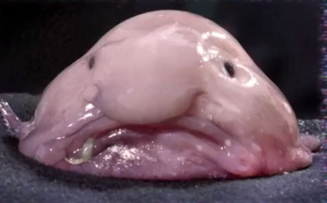 Why so miserable? Blobfish crowned the world's ugliest animal after public vote