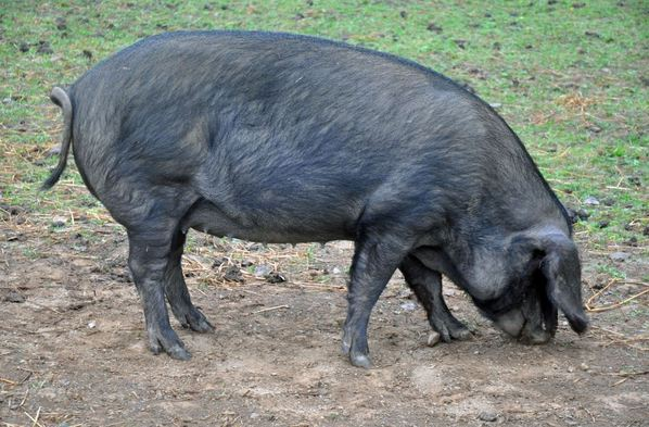 Feral pig 'drinks 18 cans of beer, fights cow and then passes out drunk under tree'