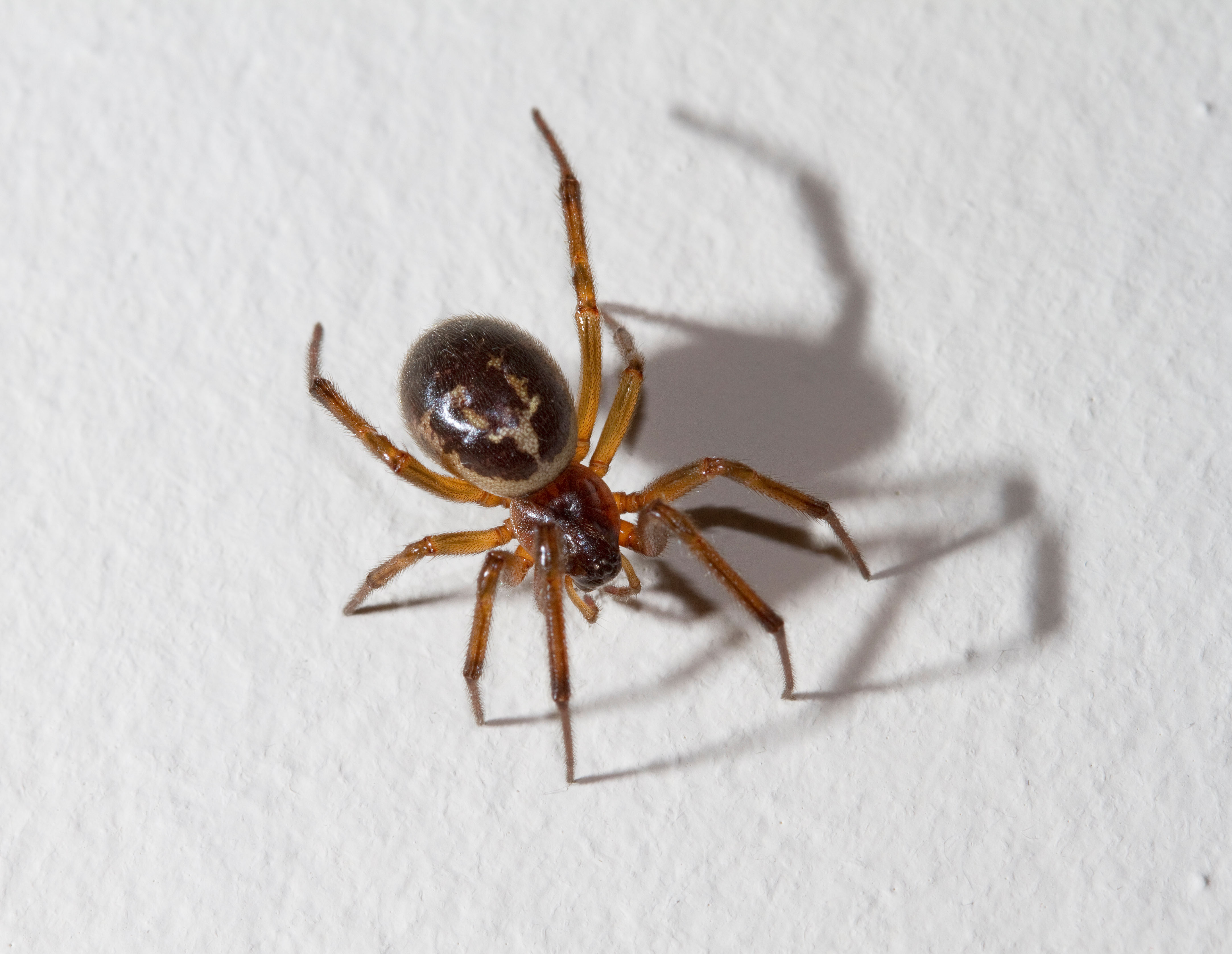 False Widow Spider, London
