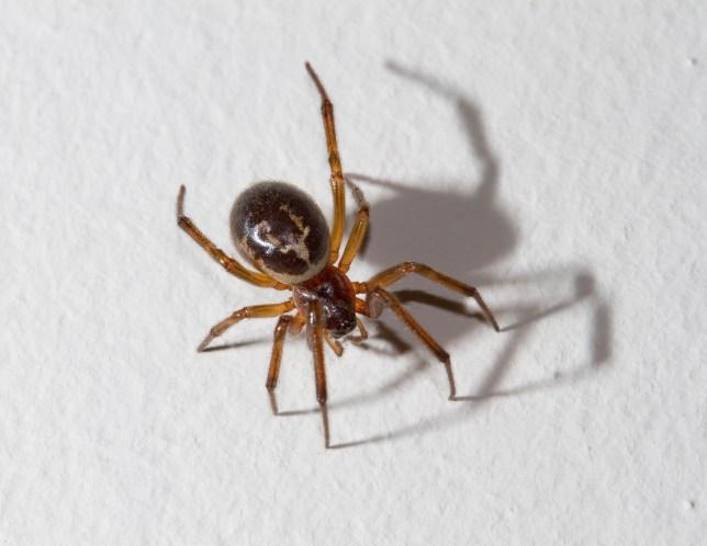 False Widow Spider, London