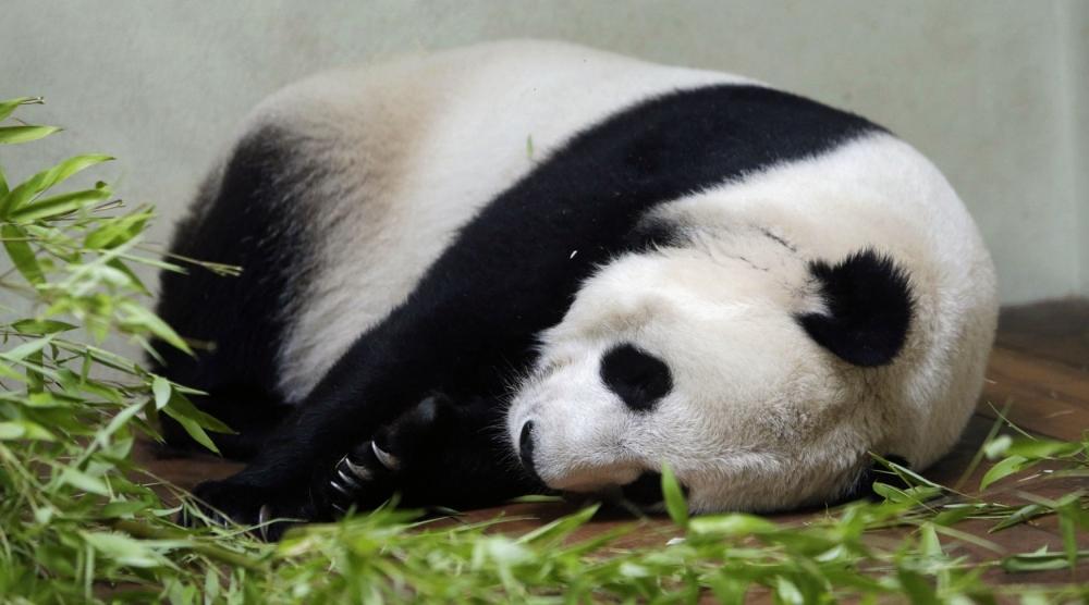 Edinburgh Zoo's panda Tian Tian no longer pregnant after losing foetus