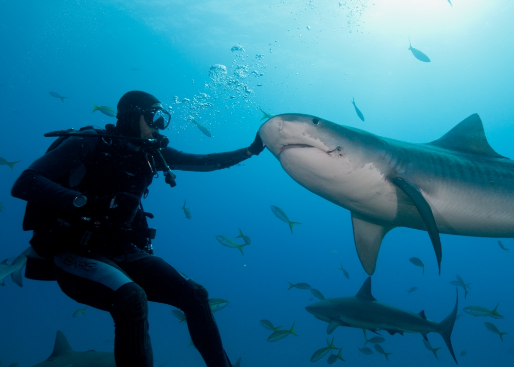 "National News and Pictures    When one brave diver got hooked on swimming with tiger sharks, little did he know that one day they might actually need his help.    But Matt Heath found himself having to remove a hook from the mouth of a 14 foot tiger shark, whose record of attacking humans is only second to the Great White.    Matt, 29, the captain of a dive boat, spent years studying the creatures in the Bahamas and understanding their behaviour.    They came to trust him so much that he was able to dive and interact with them and when he saw one with a huge fisherman's hook in its mouth he knew he had to help.    He said: ""Believe me, there is nothing relaxing about trying to pull a large hook out of a 14 foot tiger shark, however the feeling of seeing these amazing creatures swim away a bit more comfortable is worth the risk.    ""For the past few years I have been lucky enough to interact with tiger sharks on a very regular basis. These sharks became friends away from home and I could not help but care about them as you would with any animal you spend so much time with.    ""Imagine your dog coming in from playing outside and having a thorn in its paw. Of course you would want to remove it.     ""Well, unfortunately, sharks don't have paws, they have large mouths. And these large mouths collect hooks on a regular basis.    ""One sign of a healthy underwater ecosystem is a healthy shark population. Likewise, healthy means lots of fish and therefore lots of fisherman. Even with all of the responsible fishing practices, these sharks do still get caught."