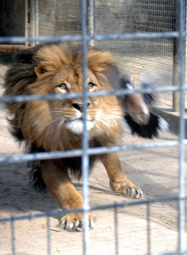 EXCLUSIVE: A pigeon makes an miraculous escape from a lion's clutches at Adelaide Zoo. The pigeon flew into the lion's enclosure but somehow managed to escape from the lion's grip. <P> Pictured: The pigeon and the lion <P><B>Ref: SPL637518  241013   EXCLUSIVE</B><BR/> Picture by: Dave Gartland / Splash News<BR/> </P><P> <B>Splash News and Pictures</B><BR/> Los Angeles:310-821-2666<BR/> New York:212-619-2666<BR/> London:	870-934-2666<BR/> photodesk@splashnews.com<BR/> </P>