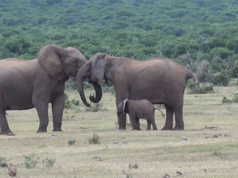 Video: Elephant family reunion shows boring humans how it's done
