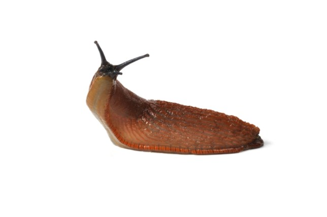 Strike a pose: This Spanish slug is about to 'voraciously' eat someone's beloved garden plants (Picture: Alamy)