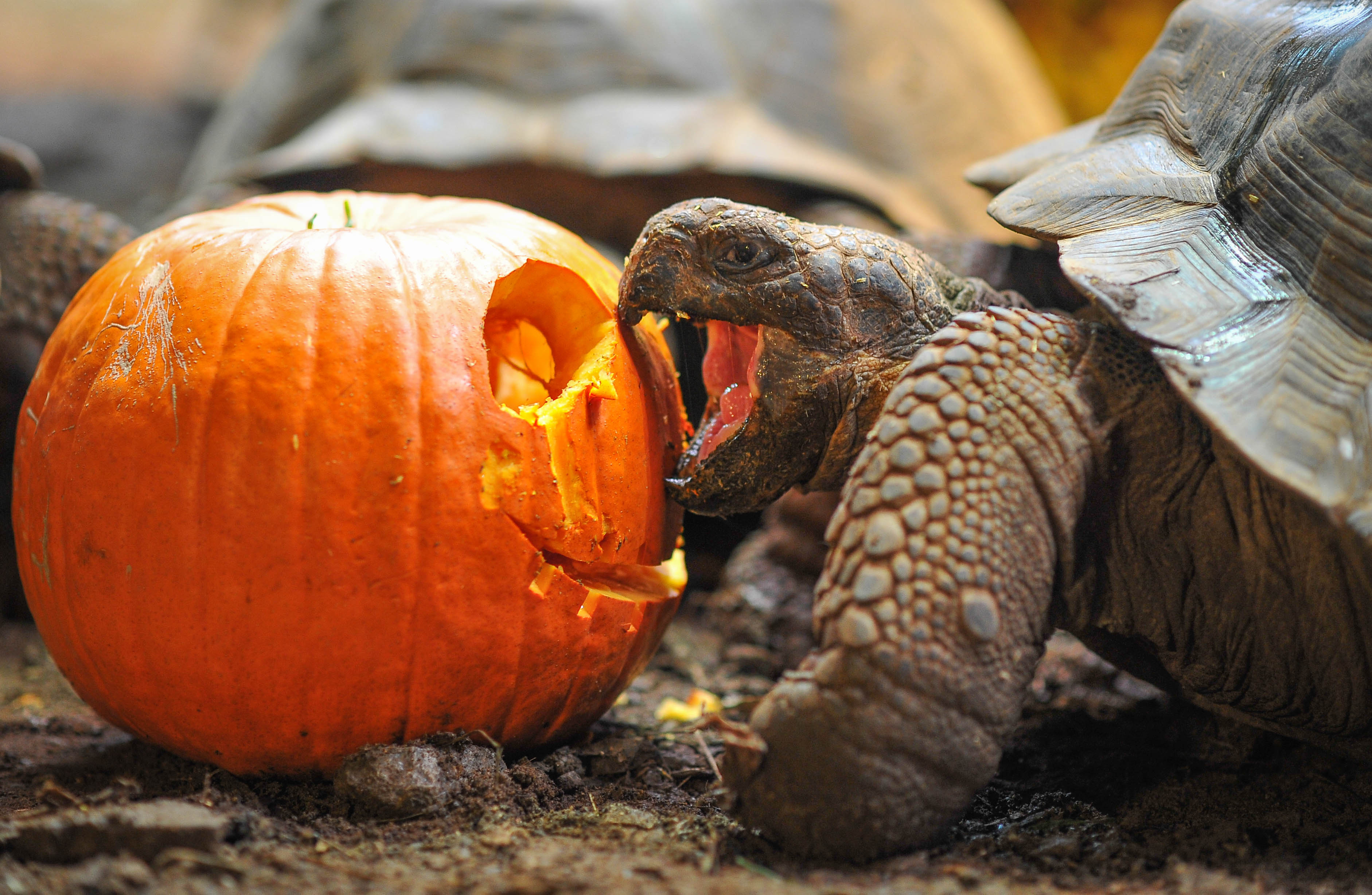 7 zoo animals having a great time with pumpkins this Halloween
