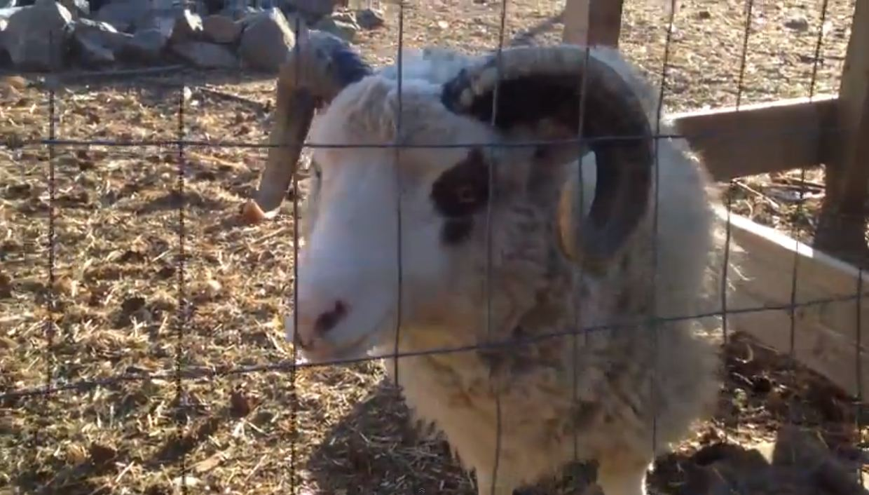 A baaa-d cold? This sheep has a sore throat – and there's a video to prove it