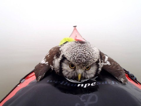 Cute alert: Exhausted owl takes a break on a canoe deck