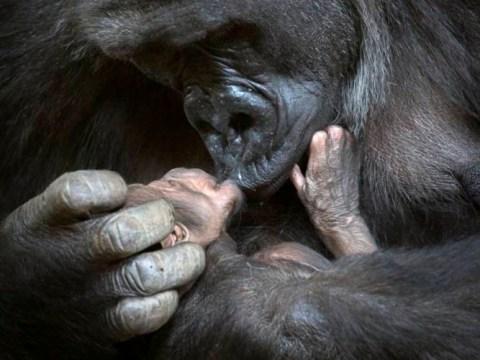Gorilla cuddles her baby 18 months after tragically crushing newborn to death