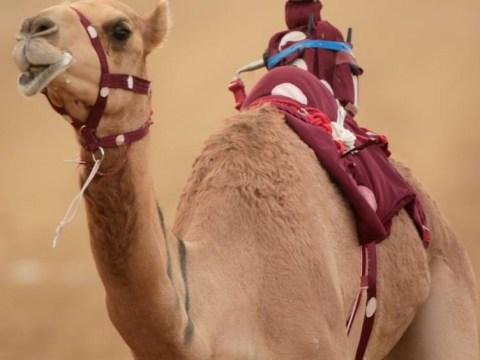 Gallery: Camel Racing In Dubai