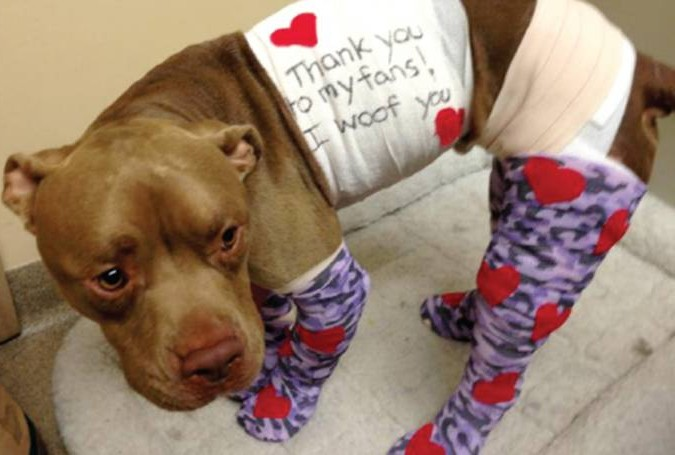 Pit bull set ablaze with fireworks strapped to legs makes incredible recovery
