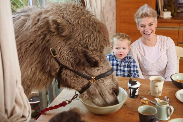 Pic By HotSpot Media - ONE HUMP OR TWO? CAMEL ENJOYS BREAKFAST WITH FAMILY -IN PIC-Joe the 6 year old camel, with Charlotte, 31, son Beau, 2  - They say breakfast is the most important meal of the day and for this greedy camel he can't get enough of his morning feed, as he gate crashes his owner's mealtime. Joe, the 6 year old Bactrian camel pops over for breakfast with the Anderson-Dixon family without invite, munching his way through carrots and bananas much to their amusement. While Nathan, 34 and wife Charlotte, 31, who live on a farm in Stow, Staffordshire attempt to have a nice civilised breakfast with their two sons, Reuben, 3 and Beau, 2 the family barely have the chance to sit down before cheeky Joe pokes his head through the window and helps himself to something to eat.Joe, who stands at 5.83 feet is not particularly picky and will happily chow down on bread, cereal and fruit, but does turn his nose up at cheese.SEE HOTSPOT COPY 0121 551 1004
