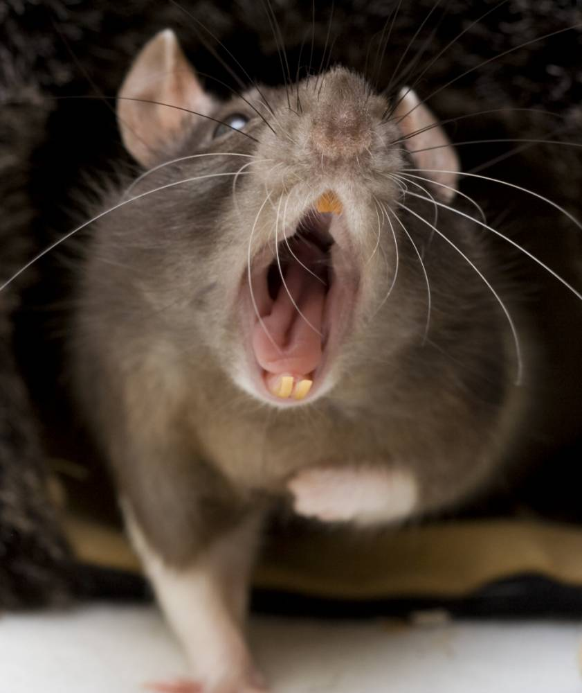 Resistant: Rats are becoming immune to poison (Picture: Getty)