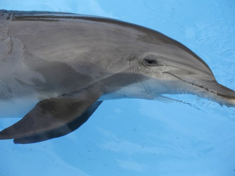 Dolphins 'deliberately getting high on puffer fish toxins'