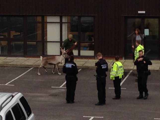 Humbug the reindeer stages great escape from Christmas market