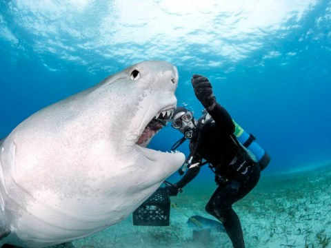 Fearless diver enjoys feeding sharks by hand
