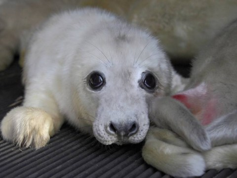 RSPCA launches appeal to help seal pups orphaned in floods