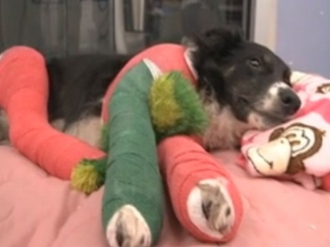 Vet launches campaign to raise money for dog with four broken legs after snow plough accident