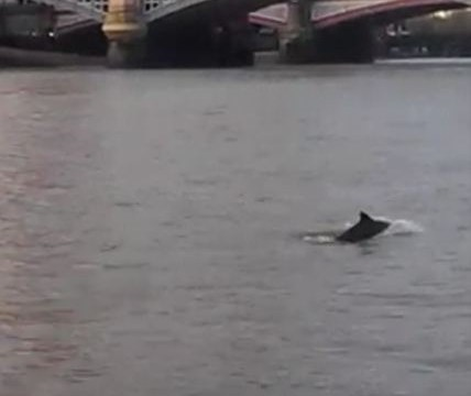 Pod of porpoises spotted swimming up the river Thames near Westminster