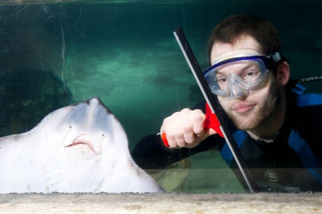 Sea Life Aquarium handout photo of a large Ray with aquarist Lance Neal as he cleans the Ray pool, as part of the annual deep clean which takes place every January at the London attraction.  PRESS ASSOCIATION Photo. Issue date: Thursday January 9, 2014. Photo credit should read: Mikael Buck/Sealife London Aquarium/PA Wire NOTE TO EDITORS: This handout photo may only be used in for editorial reporting purposes for the contemporaneous illustration of events, things or the people in the image or facts mentioned in the caption. Reuse of the picture may require further permission from the copyright holder.