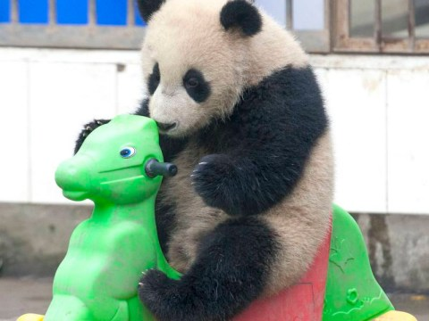 Rock (and roll) panda gets back in the saddle after rocking horse mishap