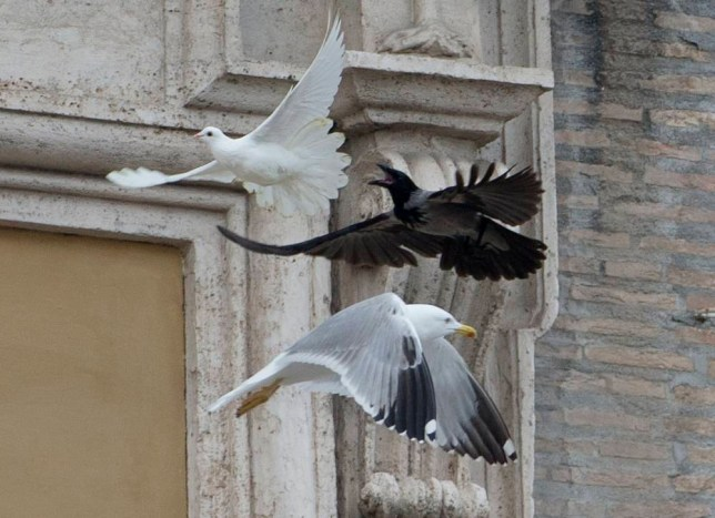 Vatican peace doves attacked by crow and seagull