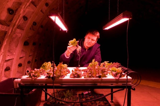 Richard Ballard inspects crops he's grown in the Clapham shelter (Picture: SWNS)