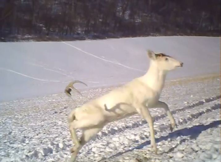 Video: Albino deer surprised as it sheds its antlers