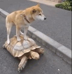 Cheeky dog gives up on walking and goes for a ride on a turtle instead
