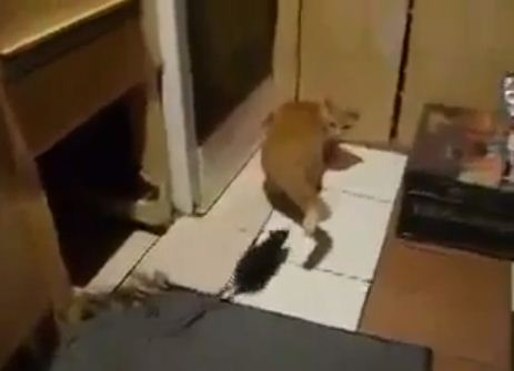 Video: Real-life Tom and Jerry? Badass rodent terrorises scaredy cat