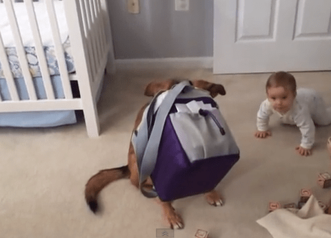 Cute video shows dog caught 'red-pawed' rustling through child's lunchbox searching for Scooby snacks