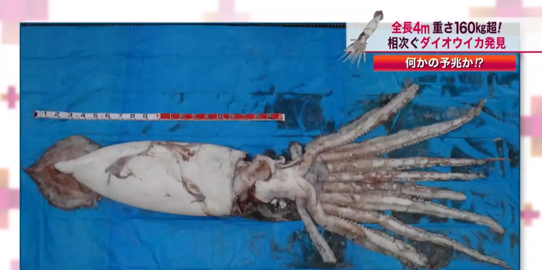 Elusive giant squid found in fishing net off the coast of Japan