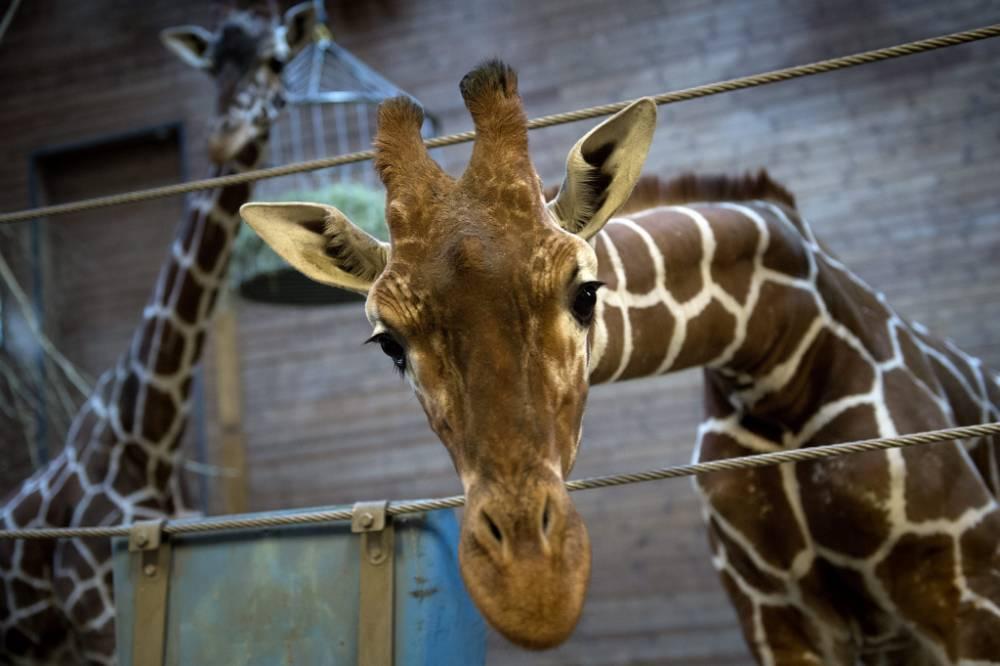 Bid to save Danish giraffe Marius fails as Copenhagen Zoo says it must 'control population'