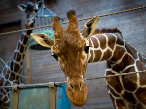 Bid to save Danish giraffe Marius fails as Copenhagen Zoo says it must 'control population'