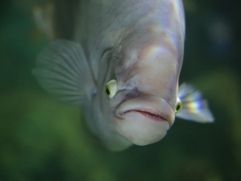 Fish addicted to prawn cocktail crisps turns shade of pink